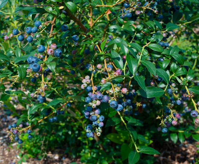 Blueberries on a bush at a berry farm