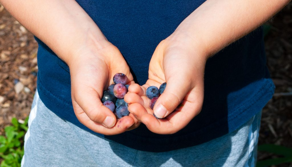 Holding blueberries after picking them