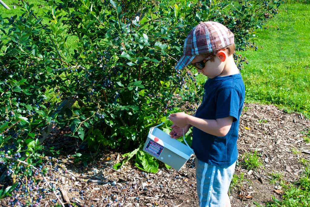 Picking blueberries and putting them in the basket