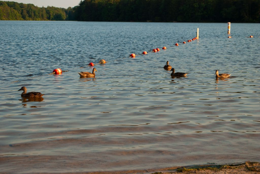 The Ducks Swimming Along in the Lake